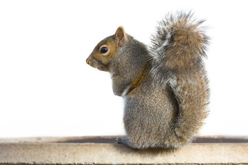 Photo sur Aluminium Squirrel Gray Squirrel