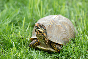 A box turtle in lush green grass.
