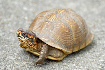 A box turtle on a sidewalk.