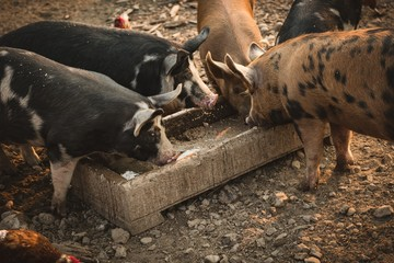 Pig eating a food in farm