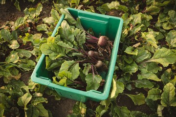 Harvested turnip in crate