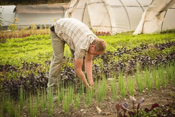 Farmer harvestng small plant in the soil
