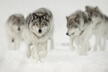 Fotobehang Wolf Wolf Pack on the Hunt