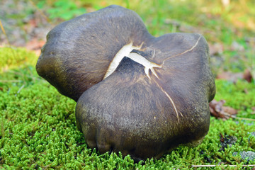 clitopilus obscurus mushroom