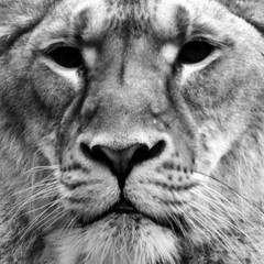 Lioness looking at camera. Close up portrait, black and white square shape image.
