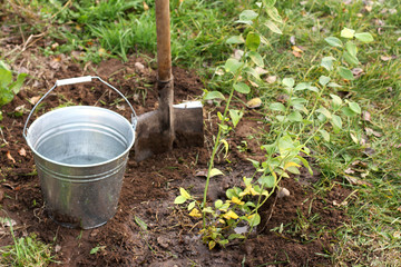 planting of fruit plants/ young bush garden blueberry, background on the bucket of water and a shovel autumn