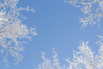 Winter background.Branches of trees covered with hoarfrost against the blue sky.