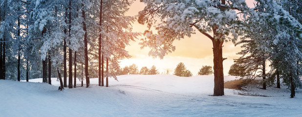 Pine trees covered with snow on frosty evening. Beautiful winter panorama
