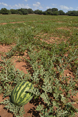Cultivo de sandias en Menorca (Spain)