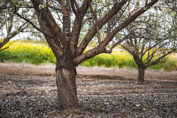The blooming Almond trees in a Almond Garden