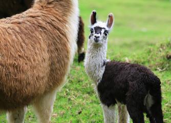 small  llamas