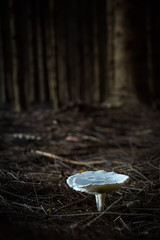 Clear white mushrooms on the pine forest ground in dark creepy scene
