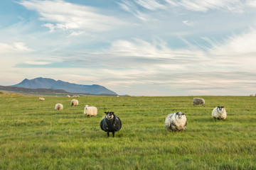 Spacious green meadows with grazing lovely fluffy sheep. mountains in the background and a very beautiful sky with clouds. Calm simple farm country pastoral landscape. Iceland.