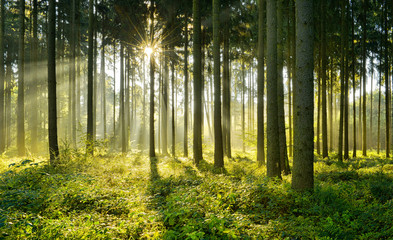 Świerkowy las w ciepłym świetle porannego słońca
