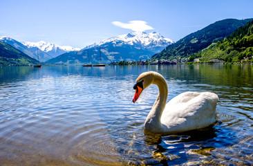 In de dag Zwaan zeller see in austria