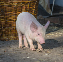 profile view of young pig near the farm