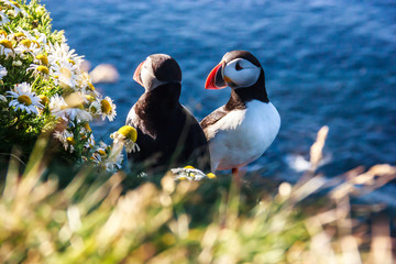 Icelandic Puffin bird couple standing in the flower bushes on the rocky cliff on a sunny day at Latrabjarg, Iceland, Europe. Wall mural
