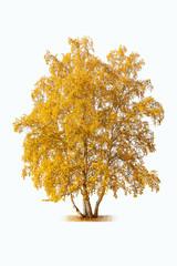 white birch in autumn