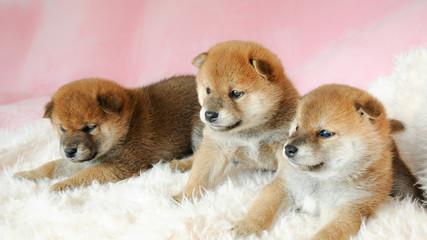 三匹の柴犬の赤ちゃん