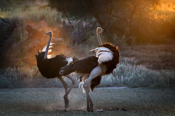 Poster Struisvogel Dancing in the dust. Two Ostrich males, Struthio camelus, displaying each other in dust backlighted by last rays of setting sun creating african wildlife atmosphere. Nature photography in Kalahari.