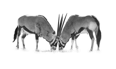 Artistic, black and white photo of  Gemsbok, Oryx gazella, two  males fighting for dominance. Heavy fight with bloody traces on their body. Kgalagadi reserve, Kalahari, South Africa.