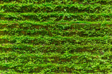 green moss grown on brick wall for wet rainforest background