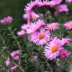 Settembrini. Aster Frikarti rosa in giardino