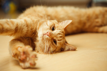 Fluffy red cat stretches on floor with open paw