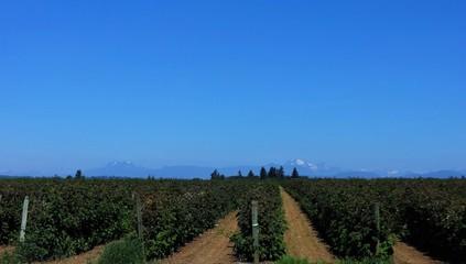 Rows of raspberries in summer