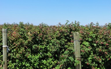 Raspberries ripening in a field in July