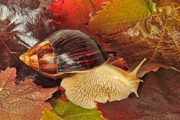 Achatina snail on multicolored autumn grape leaf.