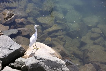 Snowy Egret on West Coast