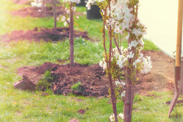 young, blooming trees planted in the park in the spring, a filter applied