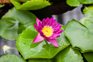 Beautiful, pink water lily from Kew Gardens - beautiful details and colors