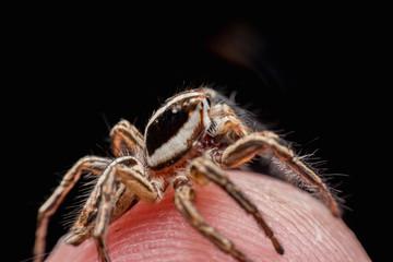 Spider on human skin, jumping Spider