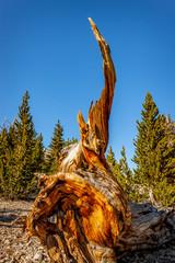 Bristlecone Pine stump
