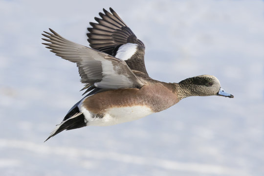 american wigeon drake in flight