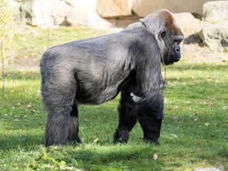Adult female Lowland Gorilla, Gorilla gorilla