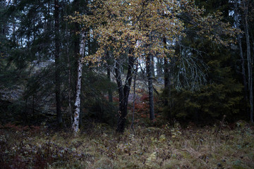 Yellow tree in Swedish forest