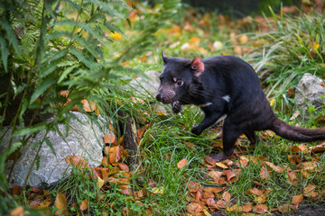 Tasmanian devil trying to defend its habitat