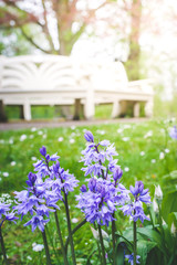 Bluebells against blurred background