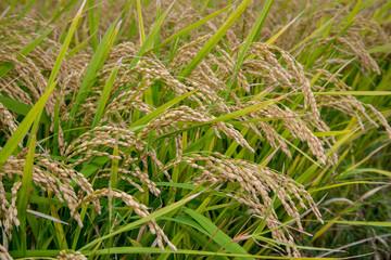 もち米の稲