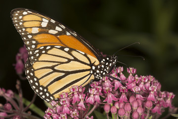 Monarch butterfly perched on milkweed flowers in Vernon, Connecticut.