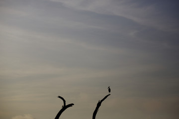 A stork sits on a dead tree at sunrise