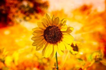 sunflower fall day