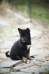 Shiba inu puppy dog sitting in garden