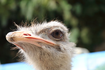 Detail of the head of an ostrich