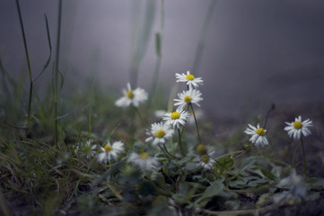 White flowers sprout in the cold, green grass