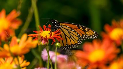 tortoiseshell butterfly 22