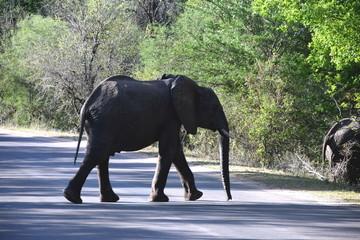 Elefant auf Straße